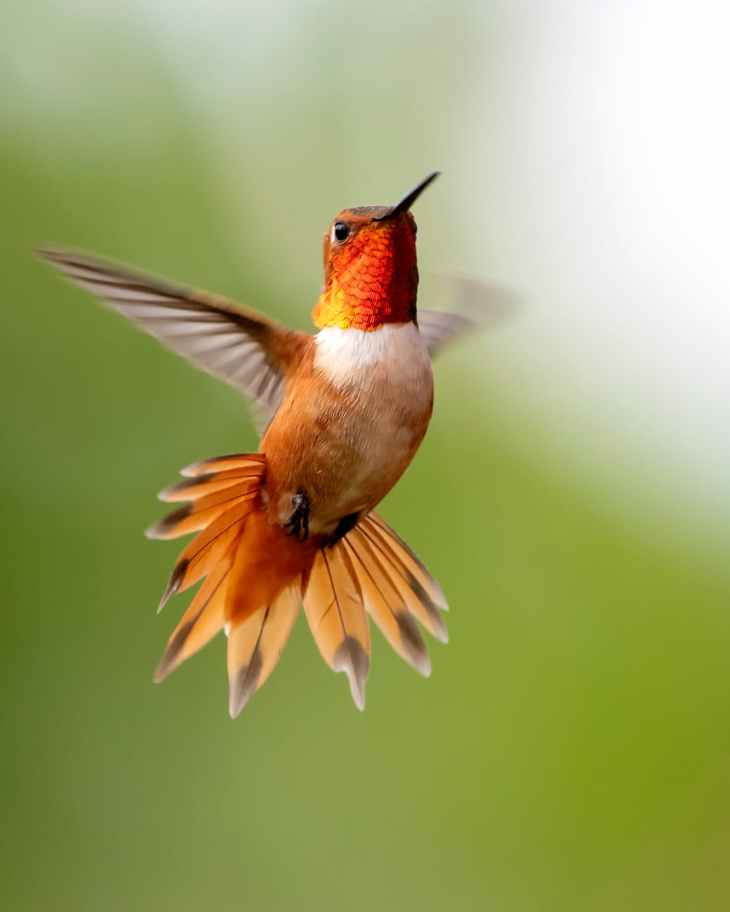 focus photography of flying hummingbird